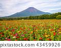 【야마나시 현] 화려한 도시 공원의 꽃밭과 후지산 43459926