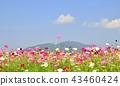คอสมอส,ดอกไม้,ฤดูใบไม้ร่วง 43460424