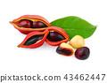 sweet chestnuts (Sterculia monosperma)  43462447