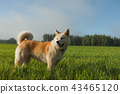 Portrait of Akita Inu in a green wheat field 43465120