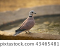 Red Turtle Dove, Jhalana, Rajasthan, India 43465481