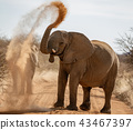 Elephant throws dirt onto its back 43467397