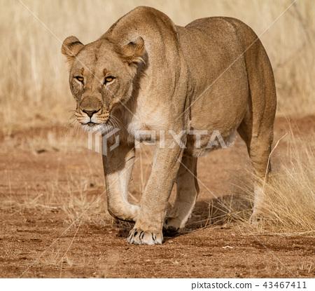 Female lion walks across dirt toad 43467411