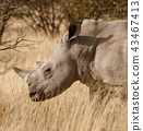 Single white rhinoceros stands on a dirt road 43467413