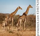 动物 长颈鹿 草地 43467420