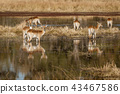 Impala often stand in knee-deep water when eating 43467586