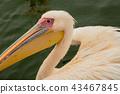 bird, birds, pelican 43467845