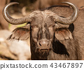 A single cape buffalo looks at the photographer 43467897