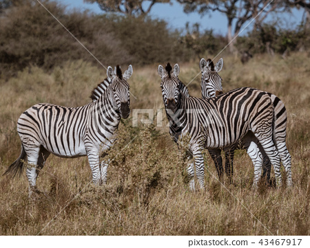 A small  dazzle of zebras look at the photographer 43467917