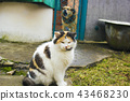 Calico cat with yellow eyes sits on backyard 43468230