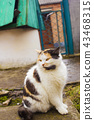 Calico cat with yellow eyes sits on backyard 43468315