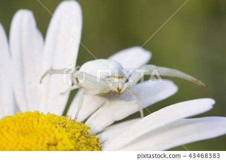 White Flower crab spider Misumena vatia on daisy 43468383