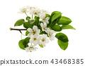 pear, blossom, branch 43468385