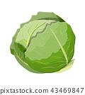 樹葉 甘藍 包菜 43469847
