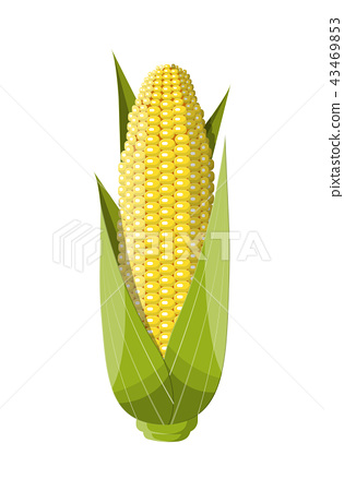 Corncobs with yellow corns and green leaves. 43469853