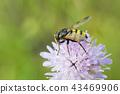 Hoverfly sitting on flower Knautia arvensis 43469906