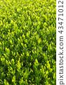 พืชสีเขียว,หญ้าอ่อน,ประเทศญี่ปุ่น 43471012