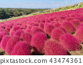 Kochia and cosmos filed Hitachi Ibaraki Japan 43474361