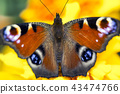 butterfly, insect, peacock 43474766