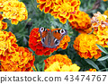 butterfly, flower, tagetes 43474767