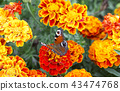 butterfly, flower, tagetes 43474768