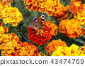 butterfly, flower, tagetes 43474769