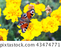 butterfly, flower, tagetes 43474771