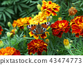 butterfly, flower, tagetes 43474773