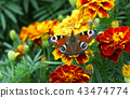butterfly, flower, tagetes 43474774