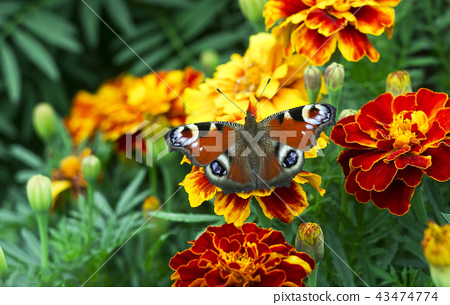 European peacock (Aglais io) butterfly on Tagetes 43474774