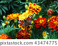 butterfly, flower, tagetes 43474775