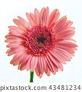 Beautiful pink gerbera flower on white background 43481234