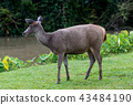 Wild deer in Thailand national park. 43484190