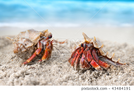 Colorful hermit crab on the beach. 43484191