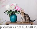 cat bengal animal 43484835