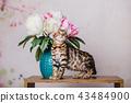 cat bengal animal 43484900