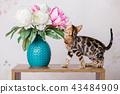 cat bengal animal 43484909