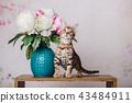 cat bengal animal 43484911