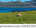 Icelandic single sheep 43485569