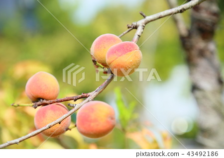 花桃의 열매 43492186