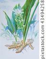 Watercolor painting original herb of Ginger. 43494258