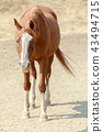 Chestnut horse with white face markings standing 43494715