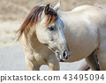 White horse with blonde brown mane close-up 43495094