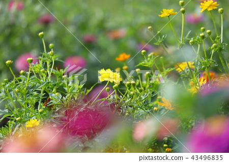 黄色和橙色万寿菊开花在bokeh前面的百日菊属 43496835