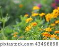橙色万寿菊鲜花 43496898