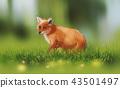 a Fox on spring green grass 43501497