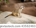 meerkat wild small animal outdoor at zoo 43502463