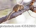 Tree squirrel (Paraxerus cepapi) 43502603