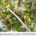 Tree squirrel (Paraxerus cepapi) 43502604