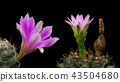 Cactus Flowers Pink Color Blooming 43504680